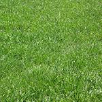 British Soil nursery grown, weed-free, hard wearing turf