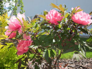 Lovely pink peony planted in SS2 screened topsoil
